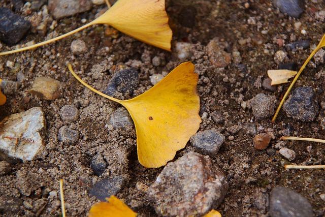 Ginkgo, Yellow, Autumn, Sand, Nara, Japan, Season