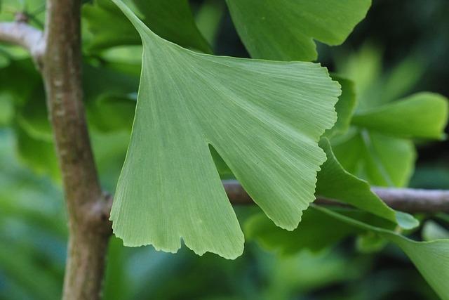 Ginkgo, Leaf, Tree, Medicinal Plant, Plant, Green