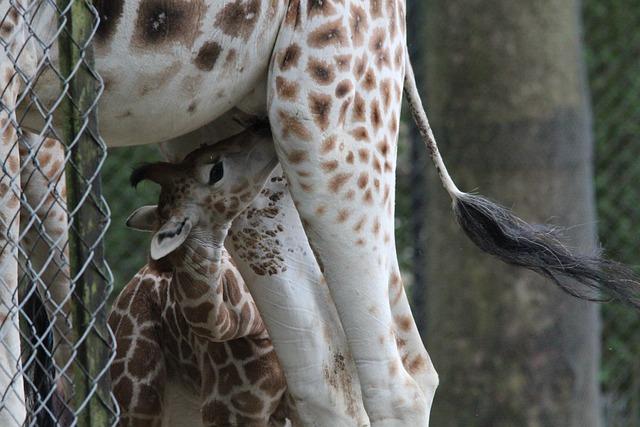 Giraffe, Rothschild Giraffe, Giraffa, Camelopardalis