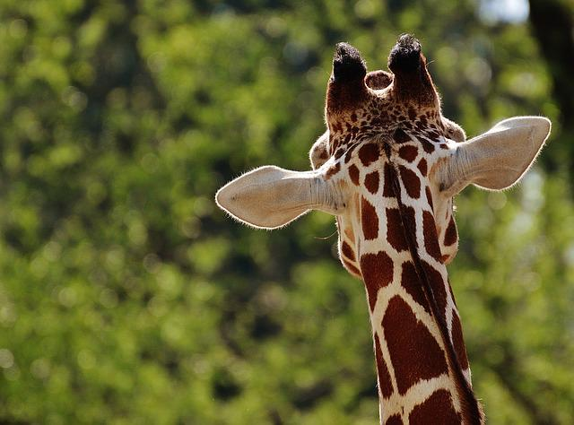 Giraffe, Zoo, Animal, Animal Portrait