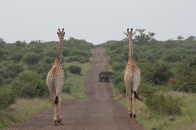 Giraffe, Elephant, Nature, Safari, Wildlife