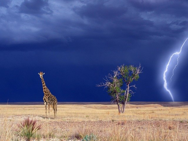 Giraffe, Savannah, Thunderstorm, Wind, Forward, Black