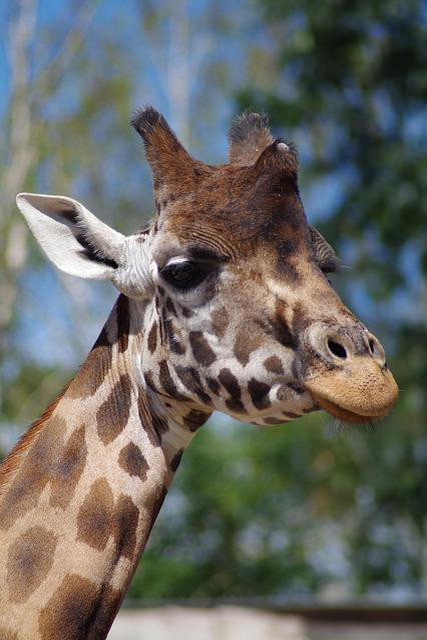 Giraffe, Zoo, African, Giraffa Camelopardalis