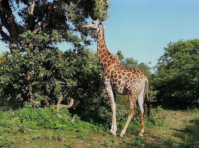 Giraffe, South Africa, Kruger National Park