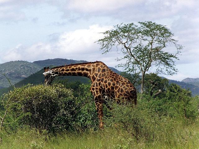 Wild Animal, Mammal, Giraffe, Reticulated Giraffe