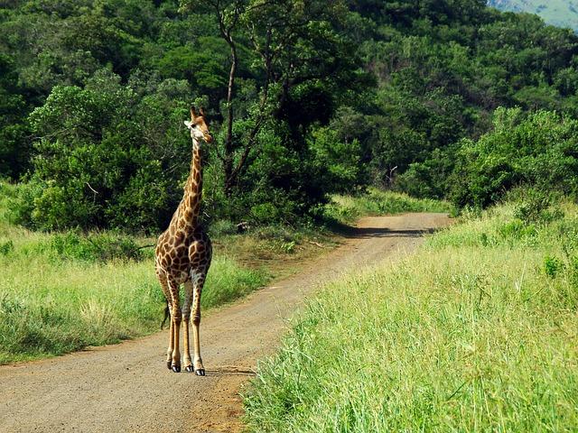 South Africa, Park, Kruger, Giraffe, Safari, Savannah