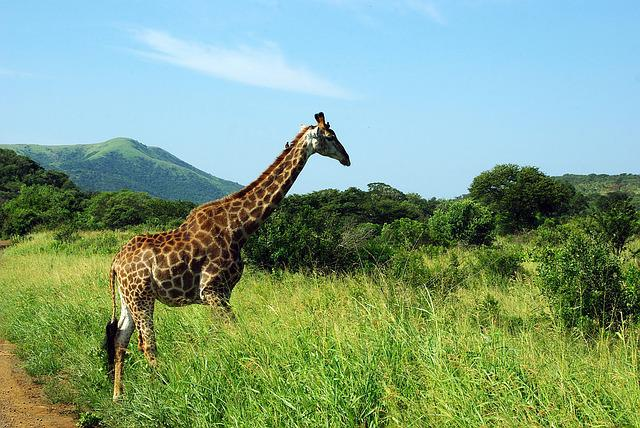 South Africa, Kruger Park, Giraffe, Savannah, Wild