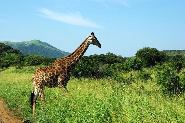 South Africa, Kruger Park, Giraffe, Savannah, Wild