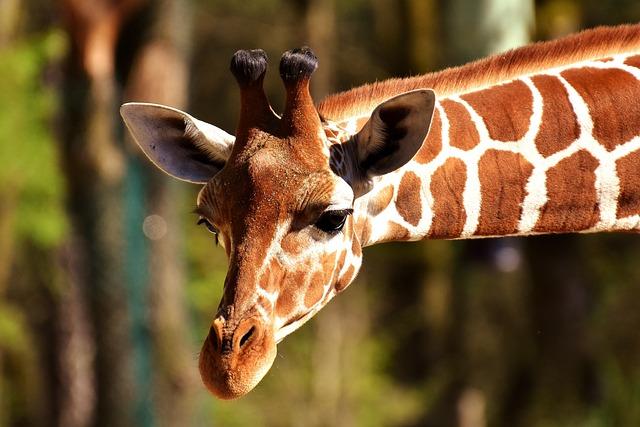 Giraffe, Wild Animal, Stains, Long Jibe, Animals