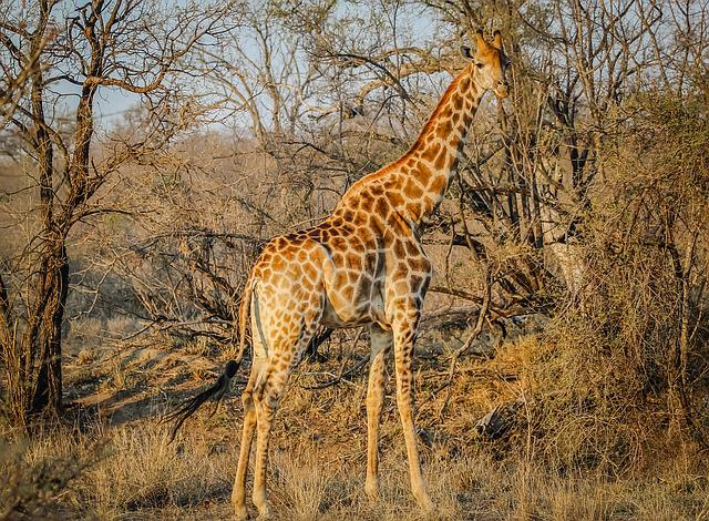 Giraffe, Africa, Animal, Wild, Nature, Safari