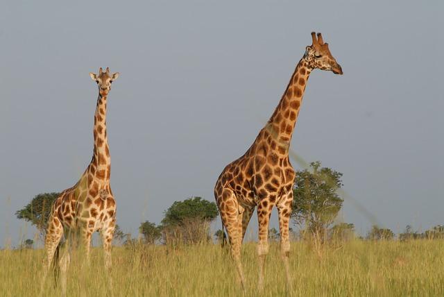 Giraffes, Safari, Uganda, Animals