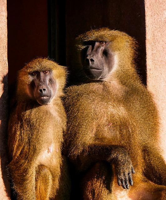 Animals, Ape, Barbary Ape, Pair, Friends, Girlfriends