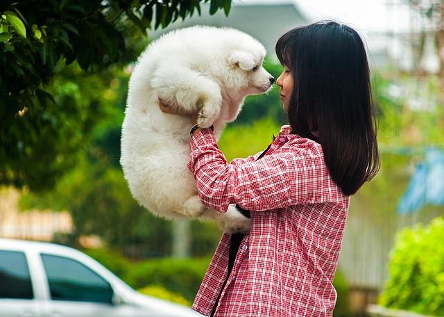Pets, Dog, Samoyed, Satsuma, Girls, Female