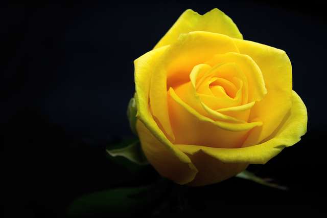 Rose, Flower, Yellow, Love, Romance, Give, Plant