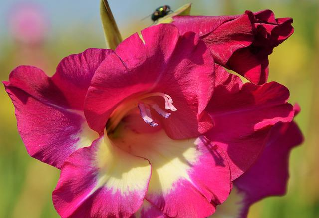 Gladiolus, Gladidus, Butterfly Greenhouse, Sword Flower
