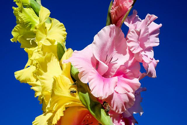 Gladiolus, Flowers, Bloom, Yellow, Pink