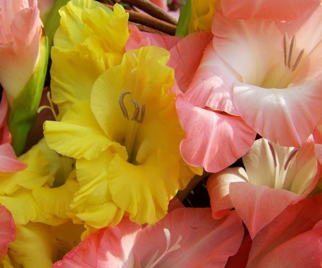 Gladiolus, Yellow, Pale Pink, Cut Flower