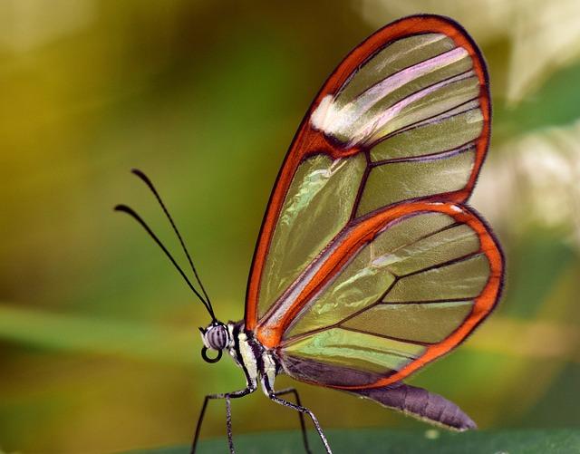 Butterfly, Glass Wings, Greta Oto, Glass Falter, Close