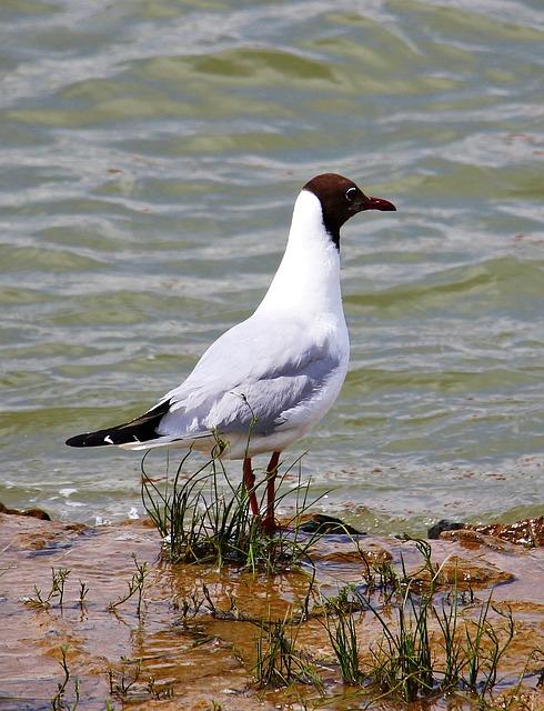 Seagull, Bird, Glider Pilot, Animal, Water, Water Bird