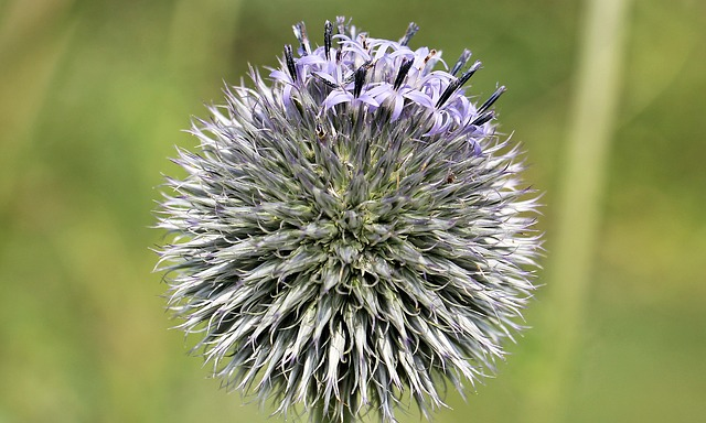 Globe Thistle, Composites, Blossom, Bloom, Flora