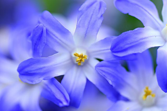 Glory Of The Snow, Chionodoxa, Flower, Plant, Blossom