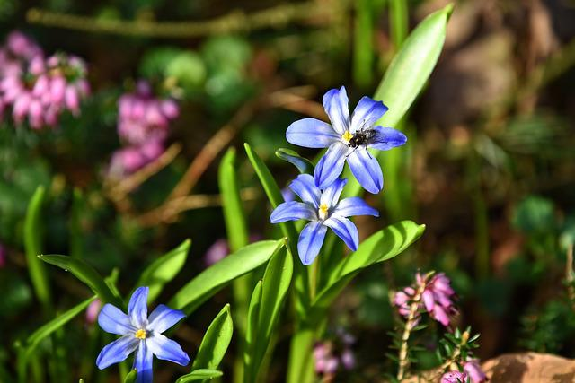 Glory Of The Snow, Flower, Chionodoxa Forbesii