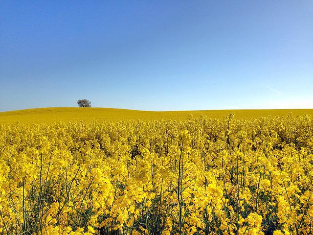 Canola, Field, Go, Summer, Yellow, Sweden, Countryside