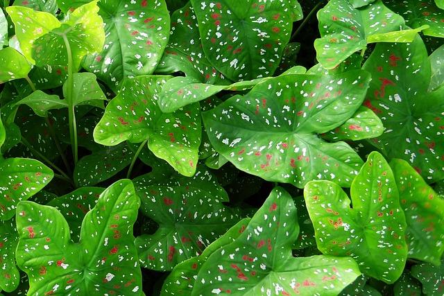 Caladium, Plant, Leaves, Florida Beauty, Goa, India