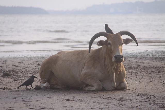 Cow, Beach Visitor, Birds, India, Goa