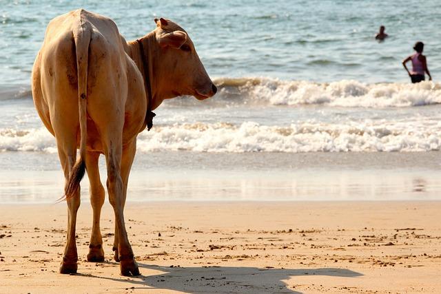 Cow, Beach, Goa, India, Cows, Water, Sea