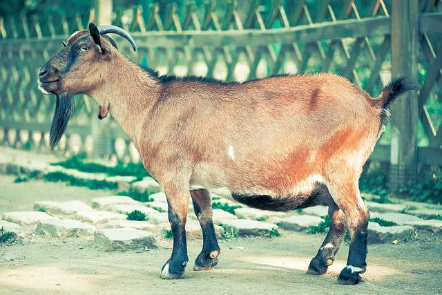 Billy Goat, Goat, Goatee, Animal, Mammals, Nature