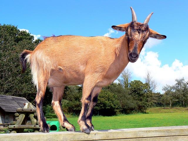 Goat, Animal, Lake 3 Priests, Brest