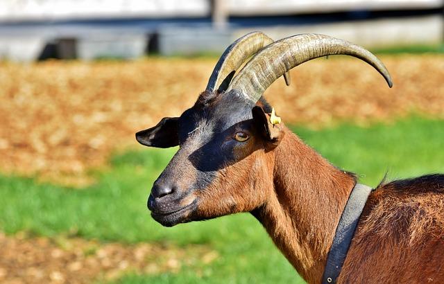 Billy Goat, Goat, Horns, Horned, Goat Buck, Goat's Head