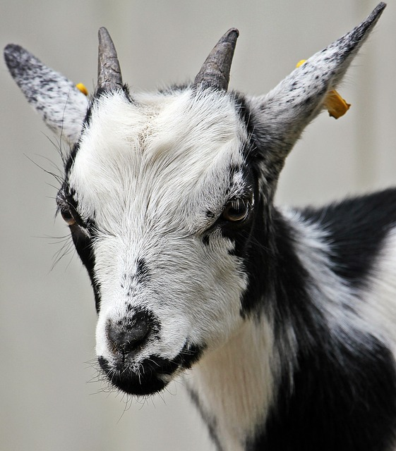 Goat, Kid, Domestic Goat, Dwarf Goat, Animal, Horns