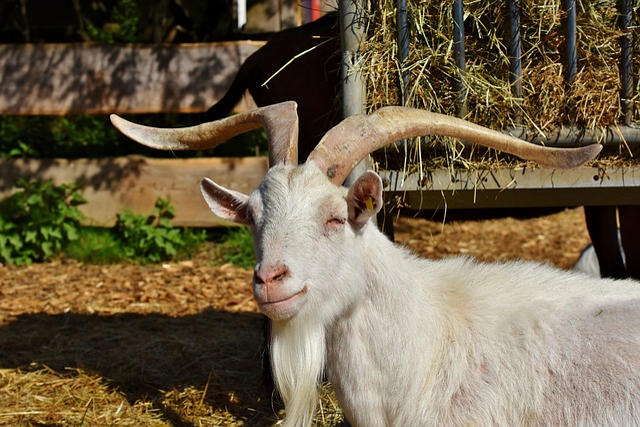 Goat, Billy Goat, Domestic Goat, Goatee, Livestock