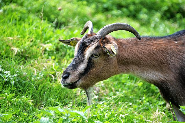 Goat Buck, Goat, Horned, Ruminant