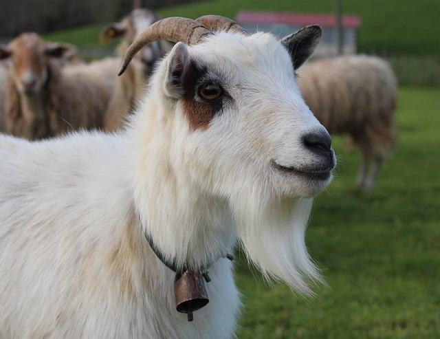 Mammal, Animal, Sheep, Goat, Livestock, Basque Country