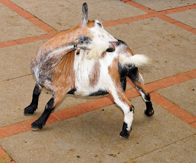 Goat, Pet, Cute, Kid, Domestic Goat, Livestock