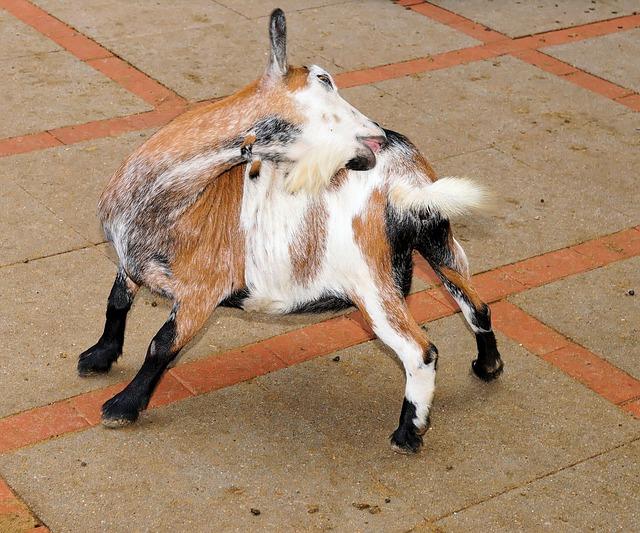 Goat, Pet, Cute, Kid, Domestic Goat, Livestock