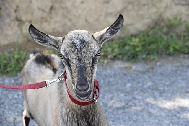 Goat, Goat Motte, Ruminant, Herbivore, Animal, Nature
