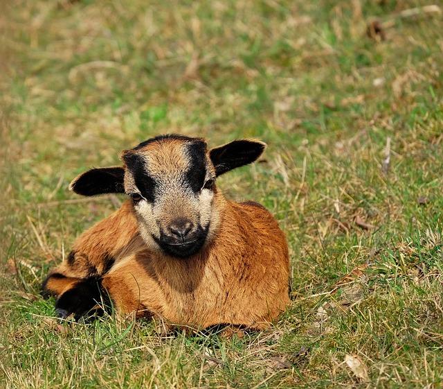 Goat, Domestic Goat, Kid, Lying, Cute, Pasture