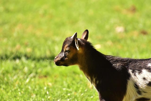 Goat, Kid, Animal, Domestic Goat, Farm, Small Goat