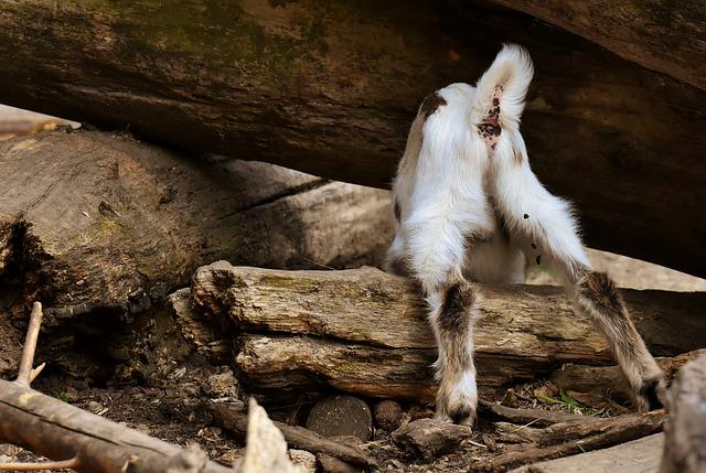 Goat, Young Animal, Curious, Playful, Romp, Cute, Small
