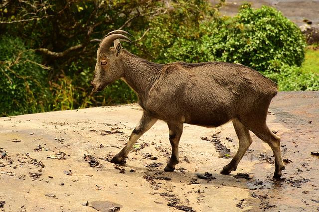 Tahr, Mountain Goat, India, Goat, Animal, Wildlife