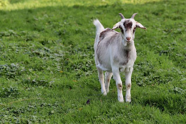Goat, Kid, Domestic Goat, Pet, Young Animal