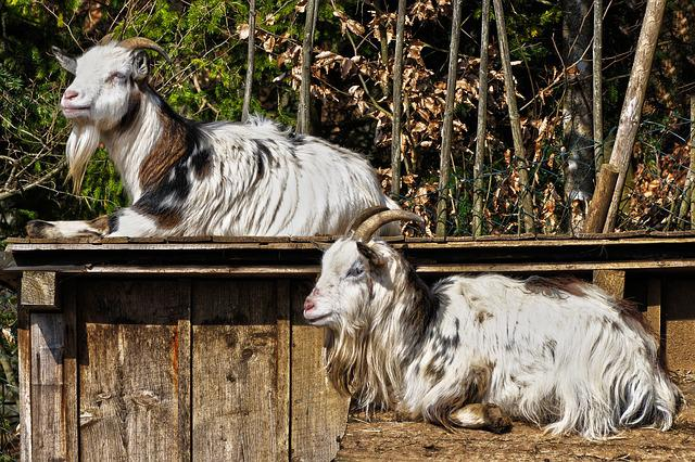 Goats, Roof, Lying, Sun, Mammal, Animal, Horns, Pet