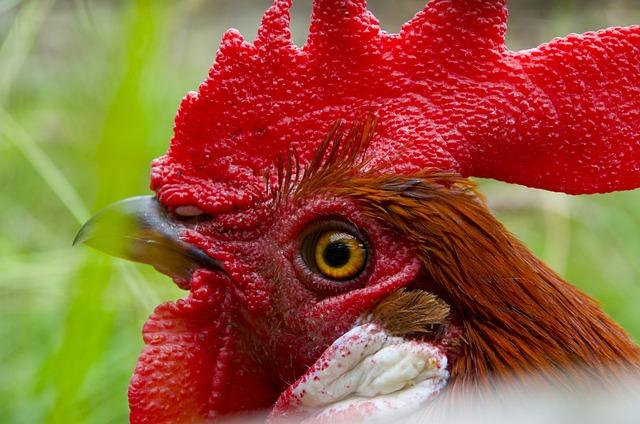 Hahn, Gockel, Poultry, Cockscomb, Red Ridge