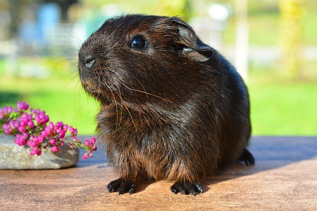 Guinea Pig, Smooth Hair, Gold Agouti, Young Animal