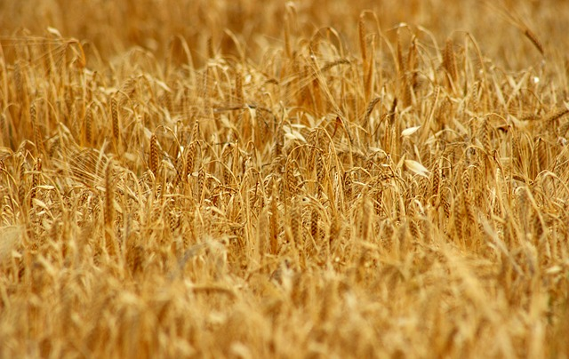 Triticum, Straw, Cereal, Harvest, Gold, Seed, Cereals