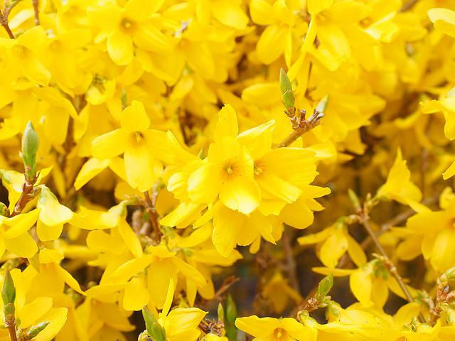 Forsythia, Branches, Yellow, Flowers, Gold Lilac